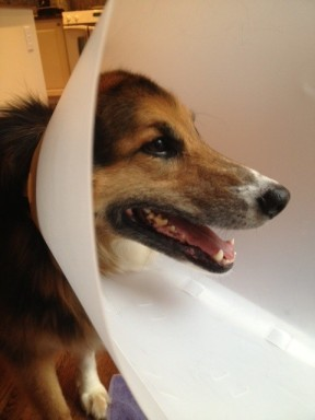 koda cone of shame